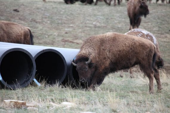 Buffalo uses HDPE as scratching post